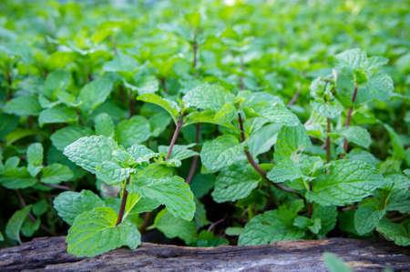 nane otu veya sebze pişirmek için, bitki taze koku özü bir ot gibi pişirme yararlıdır.