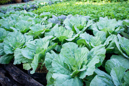 vegetables in the garden , organic vegetables growth