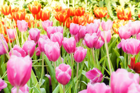colorful tulip flowers in the garden , have a nice day on tulip garden