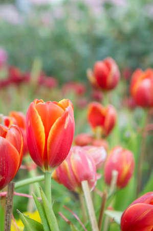 red tulip flowers in the garden the nice day on garden tulip Stok Fotoğraf