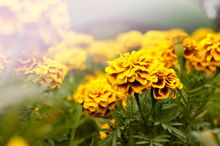 Marigold flowers in the garden on summer , yellow flowers ,beautiful flowers on summer in the nice day herb flowers