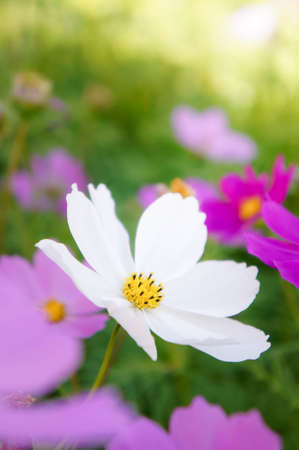 flowers cosmos in the filed morning time