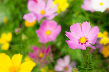 The nice day and nice flowers cosmos colorful on field pink flowers daisy flowers nature garden Stok Fotoğraf