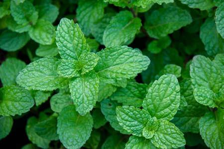 ペパーミントハーブや料理のための野菜、植物は新鮮な香りを抽出するハーブとして調理に有用です。