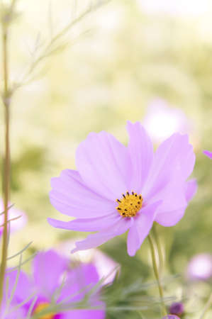cosmos daisy flowers in the garden day natural vintage