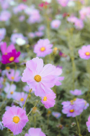 flowers cosmos in the field blooming on the day  in the nature garden