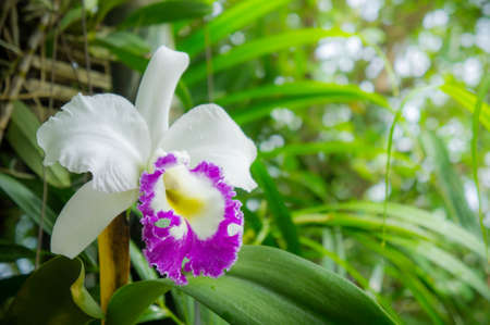 white flowers or cattaleya orchid flowers blooming in the nature garden background Stock Photo