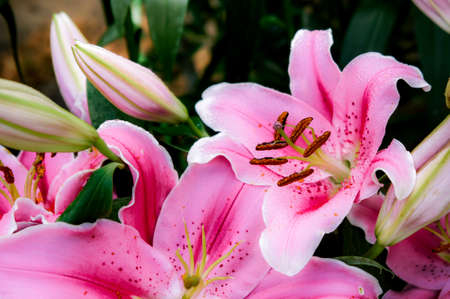 Lilly pink flowers in the garden romatic flowers colorful , pollen flower