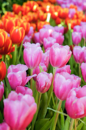 Tulip flowers in the meadow , flowers in the nature garden