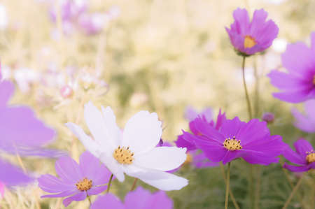 beauty flowers in the nature park , cosmos flowers in the meadow