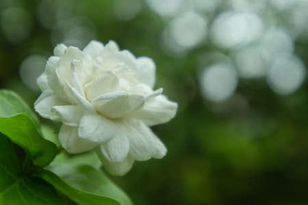 Jasmine flowers thai in the garden green nature bokeh in light on the day