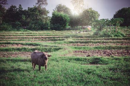 Buffalo in the meadow , animal buffalo life in the farm