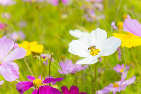 The nice day and nice flowers cosmos colorful on field pink flowers daisy flowers nature garden Stock Photo
