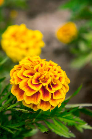 Marigold flowers in the garden on summer