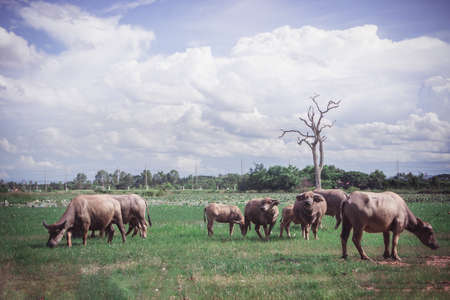 Buffalo in the meadow