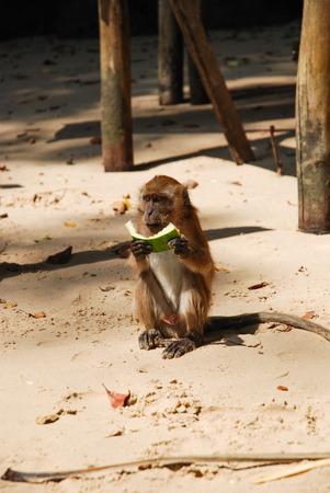 monkey eating watermelon at krabi, thailand  photo
