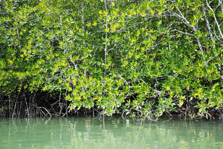 mangrove forest on water at Krabi, Thailand  photo