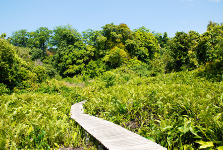 mangrove forest with walk way  photo