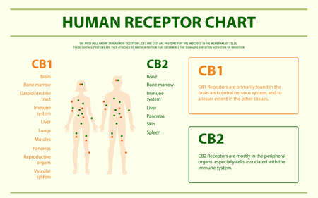 Human Receptor Chart - Endocananbinoid System horizontal infographic illustration about cannabis as herbal alternative medicine and chemical therapy, healthcare and medical science vector. Banque d'images - 130837051