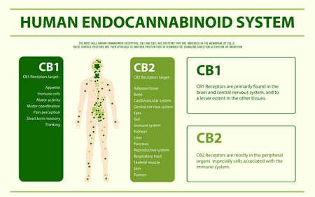 Sistema endocannabinoide humano - Ilustración infográfica horizontal del sistema endocannabinoide sobre el cannabis como medicina alternativa a base de hierbas y terapia química, salud y vector de ciencia médica. Ilustración de vector