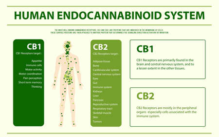 Human Endocannabinoid System - Endocannabinoid System horizontal infographic illustration about cannabis as herbal alternative medicine and chemical therapy, healthcare and medical science vector.