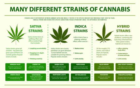 Muchas diferentes cepas de cannabis ilustración infográfica horizontal sobre el cannabis como medicina alternativa a base de hierbas y terapia química, salud y vector de ciencia médica.