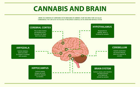 Cannabis and Brain horizontal infographic illustration about cannabis as herbal alternative medicine and chemical therapy, healthcare and medical science vector. 向量圖像