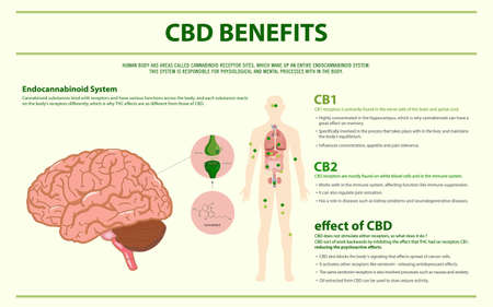 CBD Benefits Human horizontal infographic illustration about cannabis as herbal alternative medicine and chemical therapy, healthcare and medical science vector.
