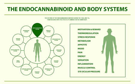 Endocannabinoid and Body Systems - Endocananbinoid System horizontal infographic illustration about cannabis as herbal alternative medicine and chemical therapy, healthcare and medical science vector. Ilustração