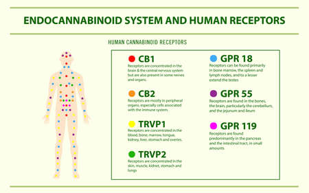 Endocannabinoid System and Human Receptors - Endocannabinoid System horizontal infographic illustration about cannabis as herbal alternative medicine and chemical therapy, healthcare and medical science vector.