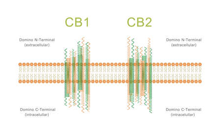Structure of Cannabinoid Receptors CB1 and CB2 Diagram illustration about cannabis as herbal alternative medicine and chemical therapy, healthcare and medical science vector.