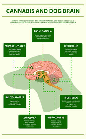 Cannabis and Dog Brain vertical infographic illustration about cannabis as herbal alternative medicine and chemical therapy, healthcare and medical science vector.