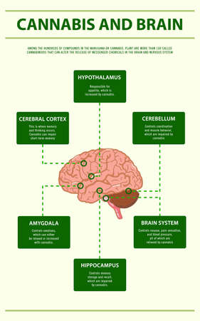 Cannabis and Brain vertical infographic illustration about cannabis as herbal alternative medicine and chemical therapy, healthcare and medical science vector.