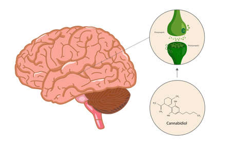 Endocannabinoid System in Brain Diagram illustration about cannabis as herbal alternative medicine and chemical therapy, healthcare and medical science vector.  イラスト・ベクター素材