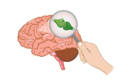 Endocannabinoid System inside Brain illustration about cannabis as herbal alternative medicine and chemical therapy, healthcare and medical science vector.