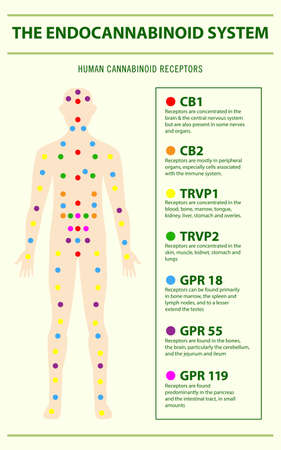 Endocannabinoid System and Human Receptors - Endocannabinoid System vertical infographic illustration about cannabis as herbal alternative medicine and chemical therapy, healthcare and medical science vector.