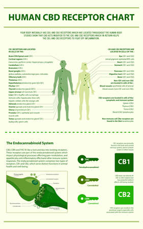 Human CBD Receptor Chart - Endocananbinoid System vertical infographic illustration about cannabis as herbal alternative medicine and chemical therapy, healthcare and medical science vector. Illusztráció