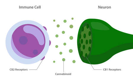 Endocannabinoid System between Immune Cell and Neuron Diagram illustration about cannabis as herbal alternative medicine and chemical therapy, healthcare and medical science vector.