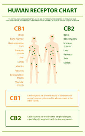 Human Receptor Chart - Endocananbinoid System vertical infographic illustration about cannabis as herbal alternative medicine and chemical therapy, healthcare and medical science vector.