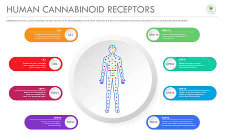 Human Cannabinoid Receptors - Endocannabinoid System horizontal business infographic illustration about cannabis as herbal alternative medicine and chemical therapy, healthcare and medical science vec