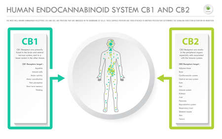 Human Endocannabinoid System CB1 and CB2 horizontal business infographic illustration about cannabis as herbal alternative medicine and chemical therapy, healthcare and medical science vector. Иллюстрация