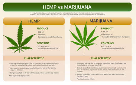 Hemp vs Marijuana horizontal textbook infographic illustration about cannabis as herbal alternative medicine and chemical therapy, healthcare and medical science vector. Stock Illustratie