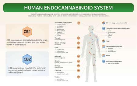 Ilustración de infografía de libro de texto horizontal del sistema endocannabinoide humano sobre el cannabis como medicina alternativa a base de hierbas y terapia química, salud y vector de ciencia médica.