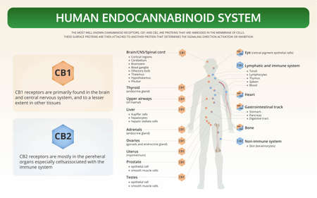Human Endocannabinoid System horizontal textbook infographic illustration about cannabis as herbal alternative medicine and chemical therapy, healthcare and medical science vector.