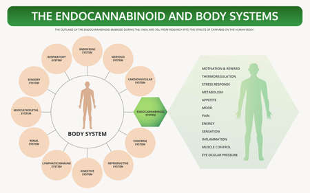 Endocannabinoid and Body Systems horizontal textbook infographic illustration about cannabis as herbal alternative medicine and chemical therapy, healthcare and medical science vector.  イラスト・ベクター素材