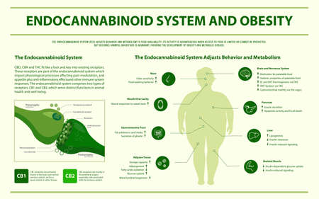 Endocannabinoid System and Obesity horizontal infographic illustration about cannabis as herbal alternative medicine and chemical therapy, healthcare and medical science vector. Stock Illustratie
