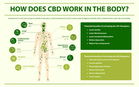 Cómo funciona el CBD en el cuerpo Ilustración infográfica horizontal sobre el cannabis como medicina alternativa a base de hierbas y terapia química, salud y vector de ciencia médica.