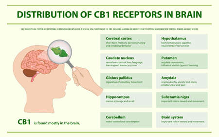 Distribution of CB1 Receptors in Brain horizontal infographic illustration about cannabis as herbal alternative medicine and chemical therapy, healthcare and medical science vector.