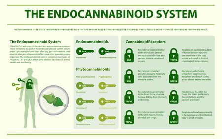 Die horizontale Infografik des Endocannabinoid-Systems über Cannabis als pflanzliche Alternativmedizin und chemische Therapie, Gesundheitswesen und medizinischer Wissenschaftsvektor. Vektorgrafik