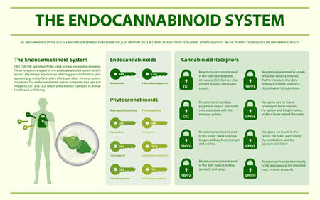 The Endocannabinoid System horizontal infographic illustration about cannabis as herbal alternative medicine and chemical therapy, healthcare and medical science vector.